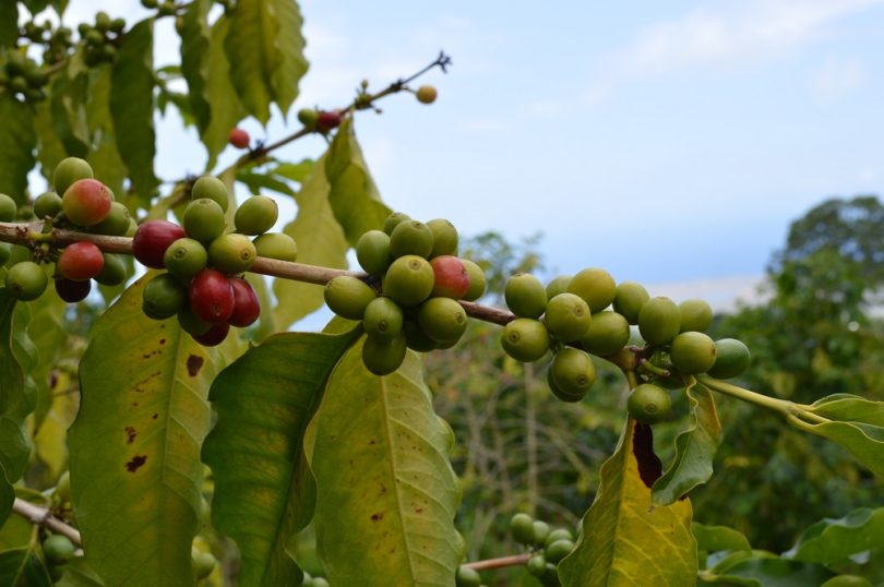 CP Mulls Growing Coffee in Cambodia
