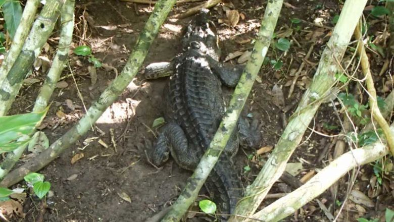 Missing rare croc found in the Cardamom Mountains