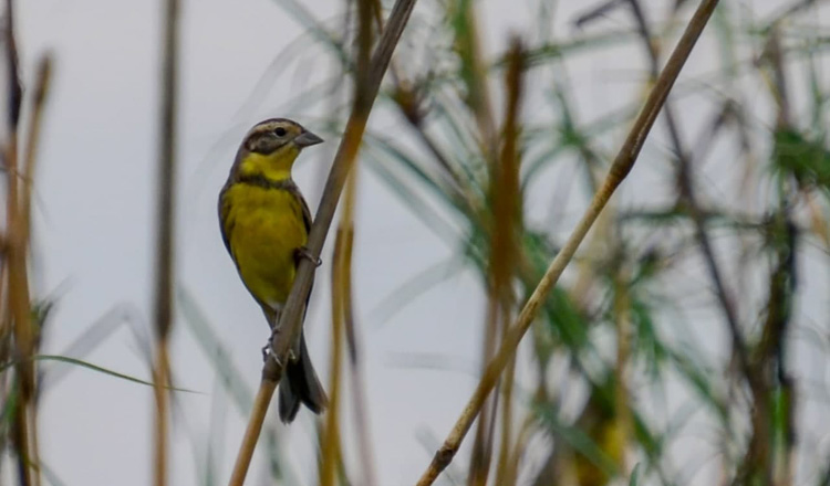 Rare Yellow-breasted Bunting spotted on New Year's Day