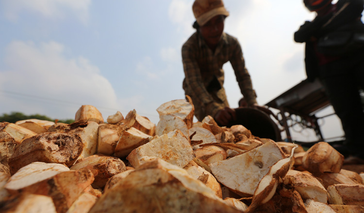 'Robust' new cassava policy aims to diversify farming and boost exports