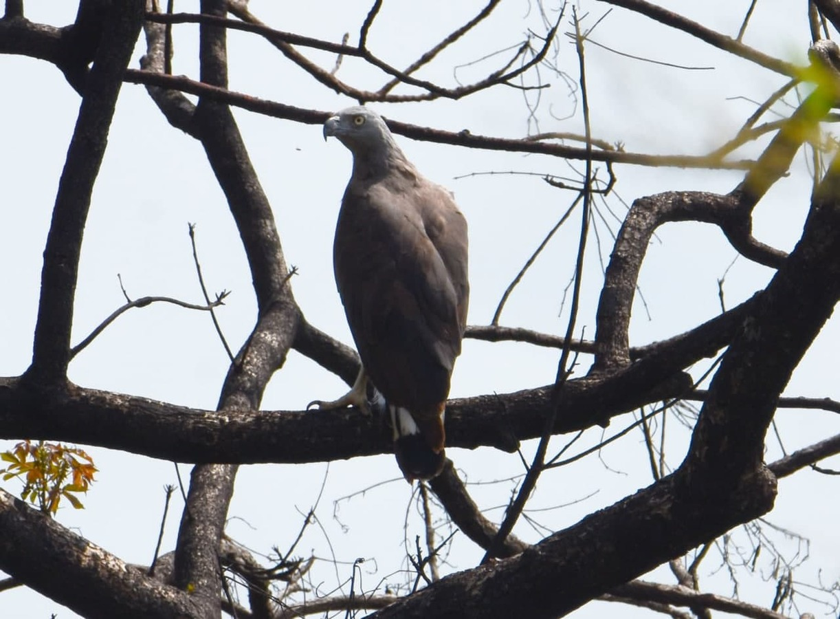 Cambodian Conservationists Monitoring Grey-Headed Fish Eagles