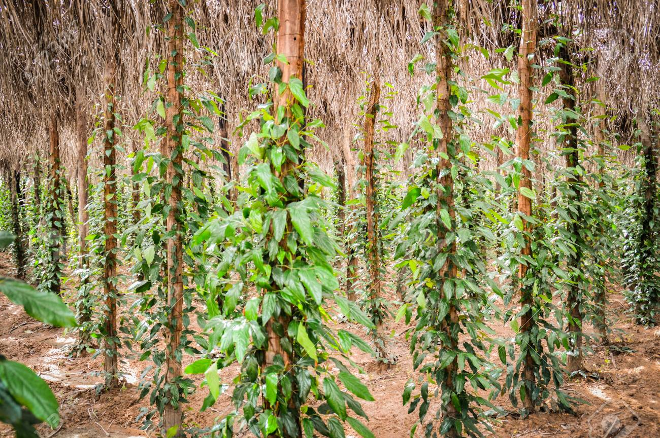 Cambodia's Kampot Pepper: First Geographical Indication via Lisbon Agreement's Geneva Act