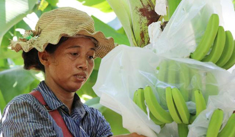China boosts banana growing in Lancang-Mekong region