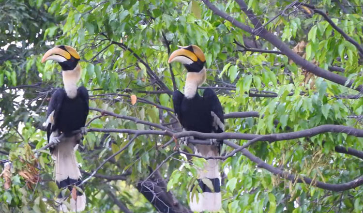 Great Hornbills spotted in Phnom Penh may be a good sign