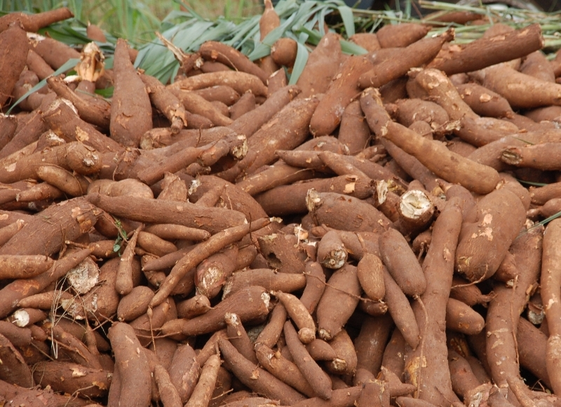 Cassava Exports Generate Some $4M Per Year