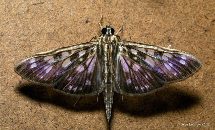 Cambodia Is Home to 849 Species of Moth