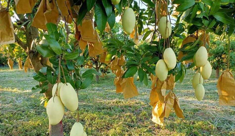 Ministry encourages investment to meet mango export demand