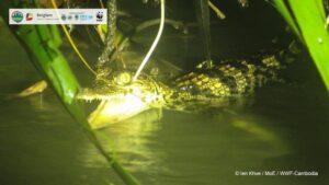 First-ever Record of Breeding of Siamese Crocodile in Srepok Area