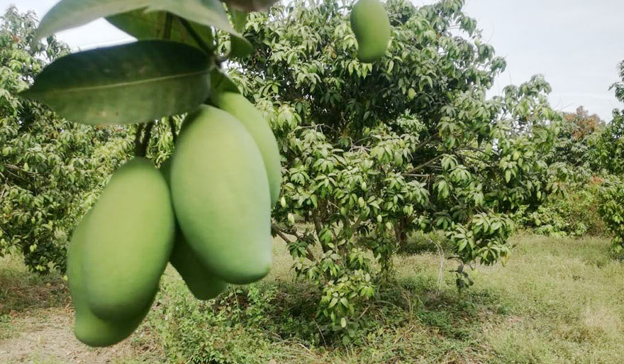 International Mango exportation on the rise