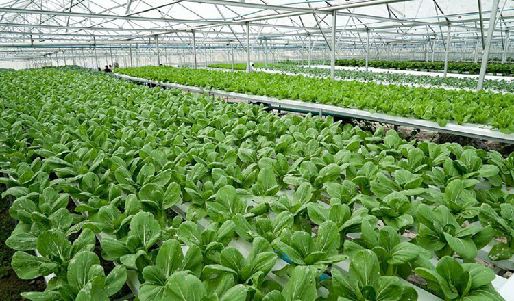 Kampong Chhnang's hydroponic farm garners support from customers